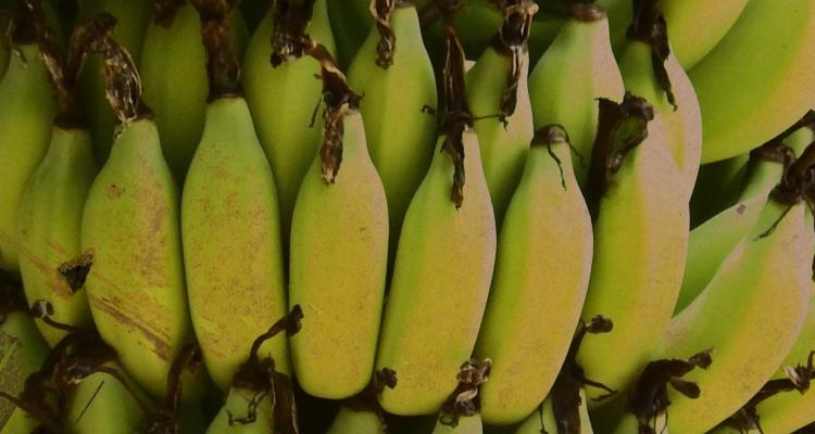Leonardo Fróes e a bananeira
